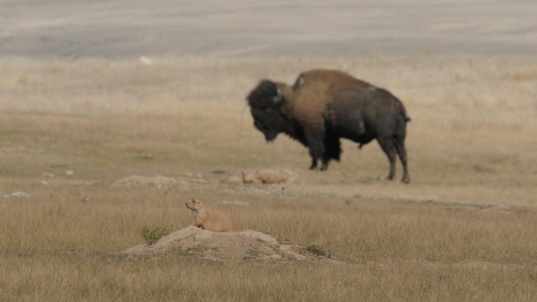 Bison and Prairie Dog, keystone species of the prairies