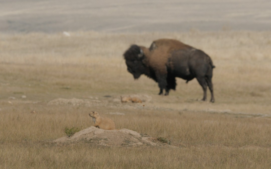 Bison and Prairie Dog, keystone species of the prairies