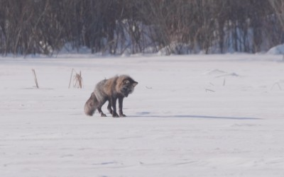 BIG NEWS: Fox Chaser – Our Brand New Documentary